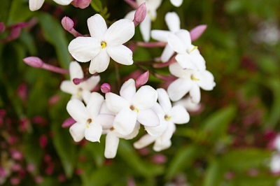 茉莉花の写真